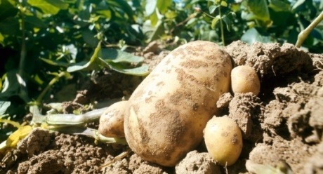 potato syngenta