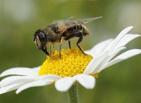 pollinator on flower syngenta